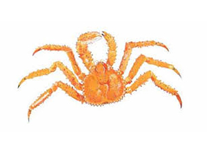 King Crabs Spider