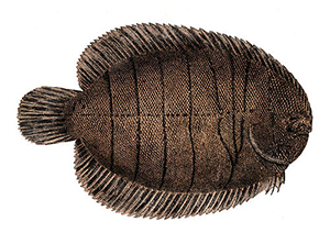 Flounder Sole Fish