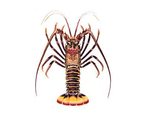 Lobster Spiny