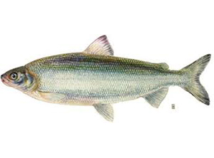 Whitefish [Great Lakes]